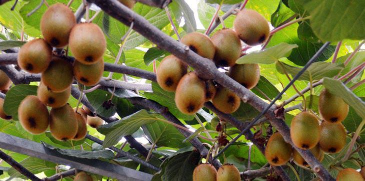 Είναι επίσημο: Το ακτινίδιο θα είναι το επόμενο διεθνές ελληνικό φρούτο!